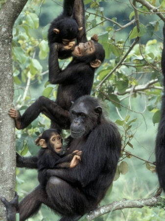 chimpanzees-in-kibale-forest