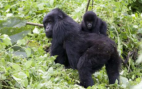 A Mother Gorilla and its young one