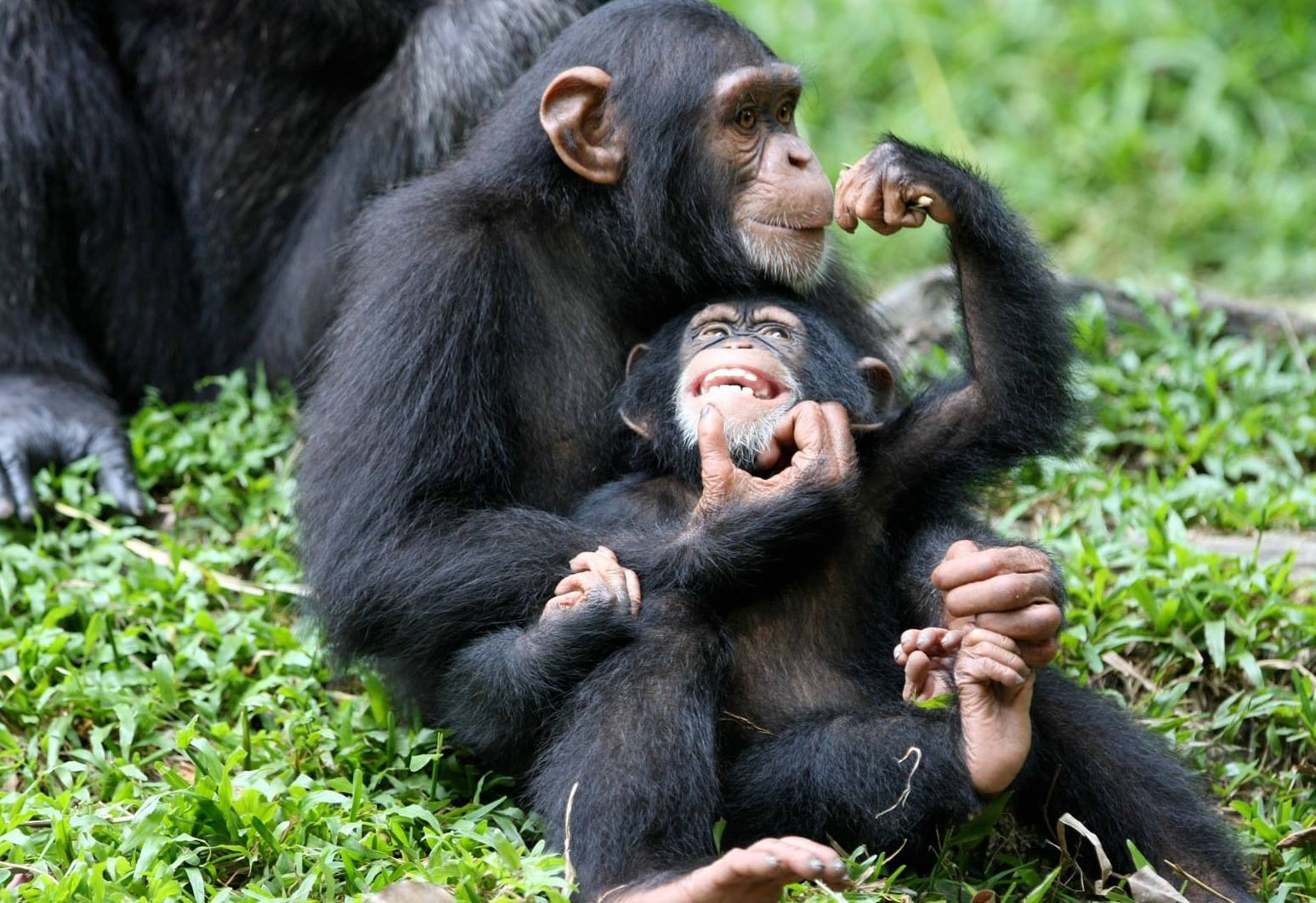A Mother Chimp and its young one